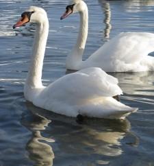 1338792_swan
